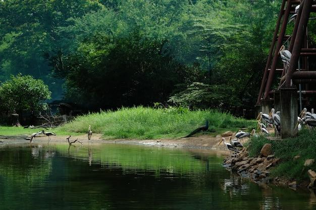 Widok tłum azjatycki openbill bocian umieszczający blisko jeziorem w parku