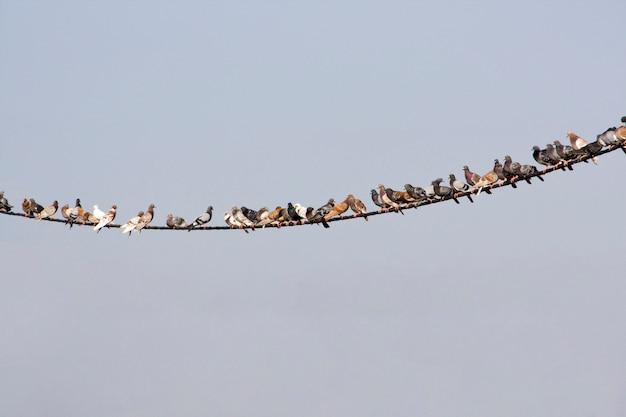 Widok wielu gołębi na zakrzywionym przewód elektryczny.