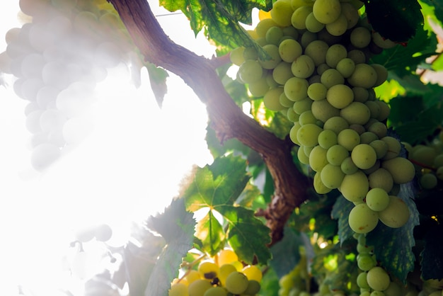 Widok wiersz winnic z ki ?? dojrza? ych winogron. wspaniałe zdjęcie z selektywnej fokus i miejsca na tekst.