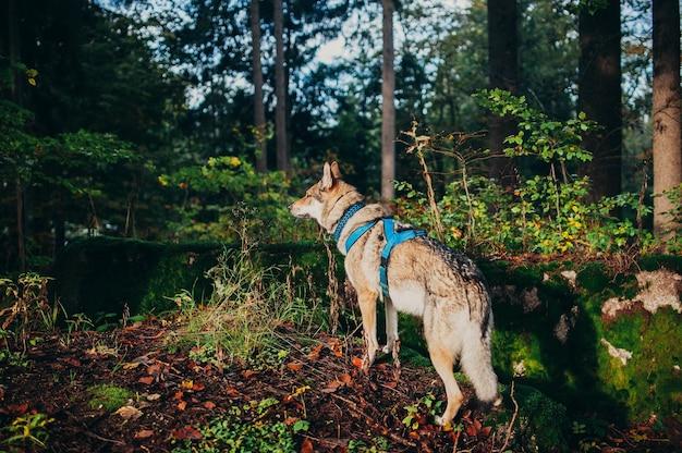Widok wilczaka z uprzężą stojącego na ziemi