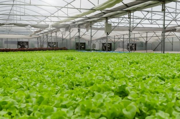 Widok wnętrza wewnętrznego organicznych hydroponicznych świeżych zielonych warzyw produkowanych w gospodarstwie w ogrodzie szklarniowym, biznesie rolniczym, inteligentnej technologii rolniczej, rolniku biznesowym i koncepcji zdrowej żywności
