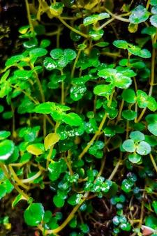 Widok z bliska roślin rukiew wodna. tło fotografii makro