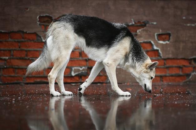 Widok z boku bezpańskiego psa pasterskiego wąchającego mokrą asfaltową drogę w poszukiwaniu jedzenia podczas spaceru po ulicy