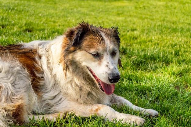 Widok z boku biały i brązowy kolorowy pies ulicy odpoczynku na trawie