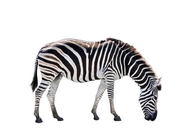 Widok z boku całe ciało afrykańskiej zebry na białym tle