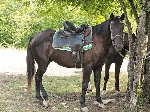 Widok z boku ciemnobrązowego konia z siodłem przywiązanym do drzewa na naturalnym tle