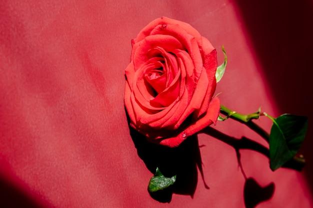 Widok z boku czerwonego koloru róży na białym tle na czerwonym tle tekstury