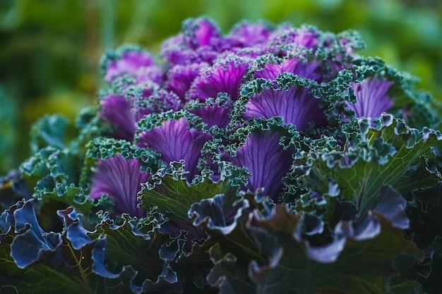 Widok z boku fioletowo-zielonej ozdobnej kapusty wyglądającej jak duży, nieziemski kwiat