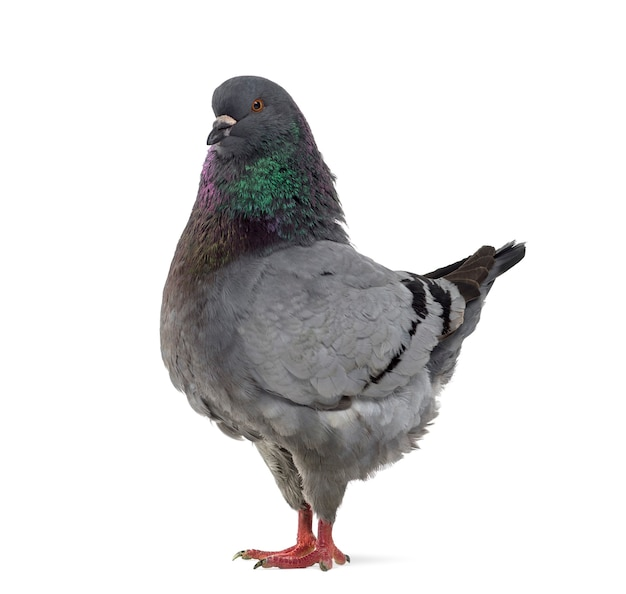 Widok z boku gołębia królewskiego na białym tle