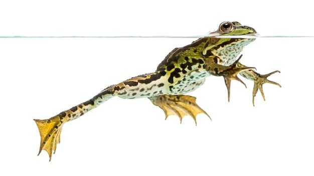 Widok z boku jadalnej żaby pływającej na powierzchni wody, pelophylax kl. esculentus, na białym tle