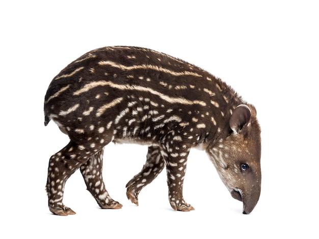 Widok z boku młodego południowoamerykańskiego tapira wąchającego, na białym tle, 41 dni