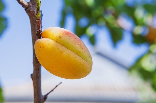 Widok z boku morelowe drzewo owocowe. poziomy