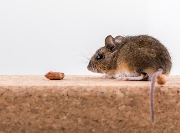 Widok z boku myszy z drewna, apodemus sylvaticus, siedzącego na korku, wąchającego orzeszki ziemne