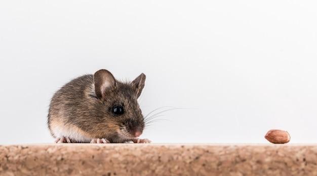 Widok z boku myszy z drewna, apodemus sylvaticus, siedzącego na korku z jasnego tła, węszącego orzeszki ziemne