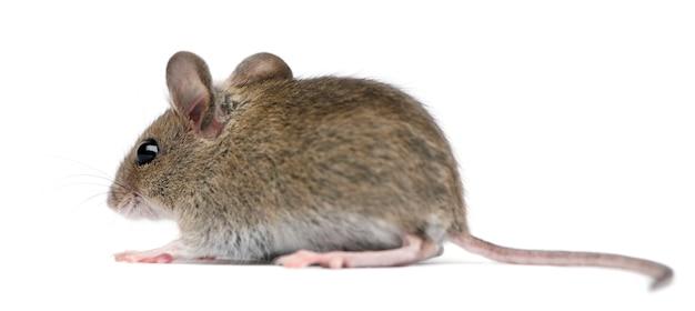 Widok z boku myszy z drewna