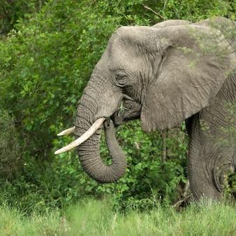 Widok z boku na głowę słonia w serengeti