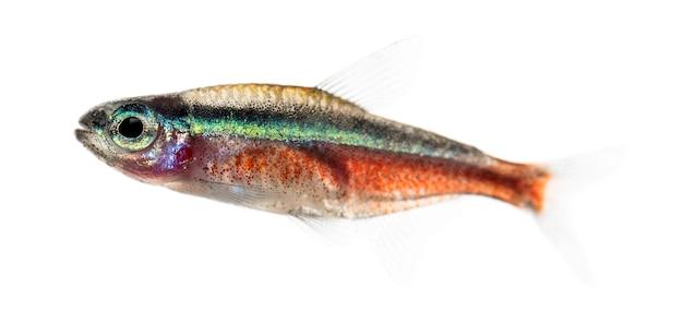 Widok z boku na rybę cardinalis lub kardynał tetra na białym tle