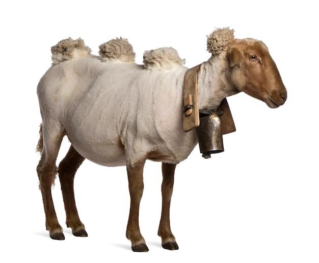 Widok z boku owiec mourerou na sobie dzwon