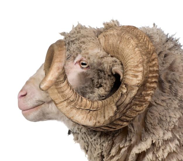 Widok z boku owiec rasy arles merino, barana,
