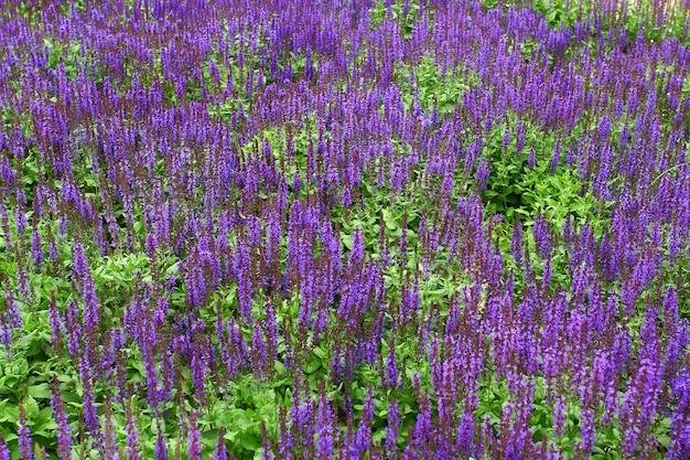 Widok z boku pola kwiatów lawendy z efektem bokeh. lavandula augustifolia