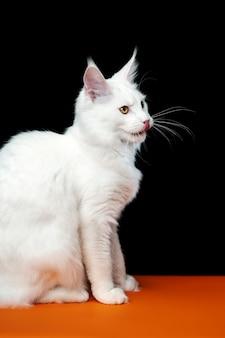 Widok z boku portret białego koloru coon cat siedzący na czarno-pomarańczowym tle