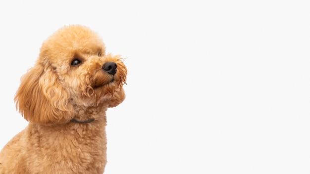 Widok z boku psa domowego z miejsca na kopię
