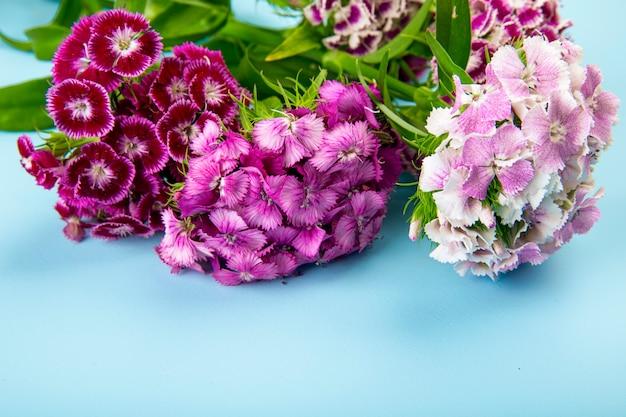 Widok z boku purpurowego koloru słodki william lub tureckiego goździka kwiaty na białym tle na niebieskim tle