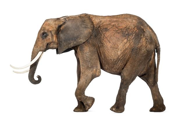 Widok z boku słonia afrykańskiego, na białym tle