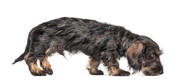 Widok z boku spacerującego psa jamnika wąchającego ziemię, na białym tle