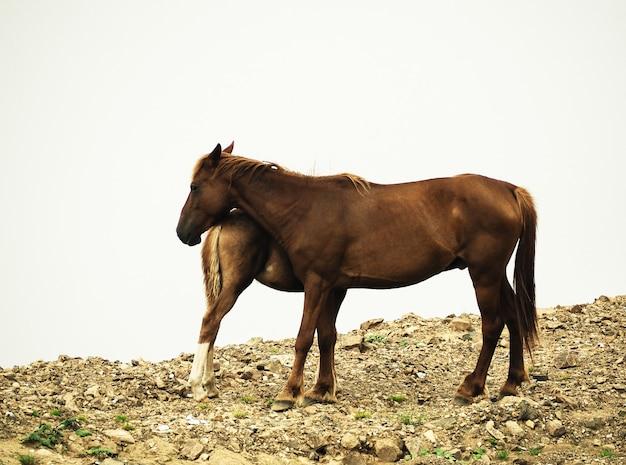 Widok z boku stojącej klaczy konia i źrebaka na białym pochmurnym tle