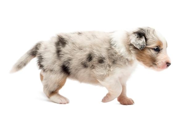 Widok z boku szczeniaka owczarek australijski, chodzenie na białym tle