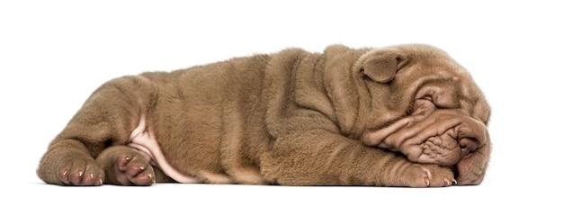 Widok z boku szczeniaka shar pei leżącej do spania na białym tle