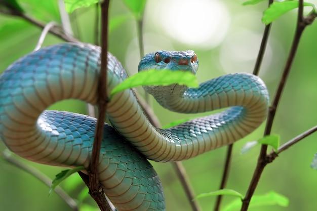 Widok z boku węża niebieskiej żmii na gałęzi viper snake blue insularis trimeresuru