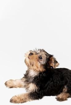 Widok z boku z uroczym yorkshire terrier z miejsca na kopię