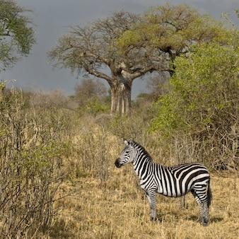 Widok z boku zebry stojącej na użytkach zielonych, tanzania