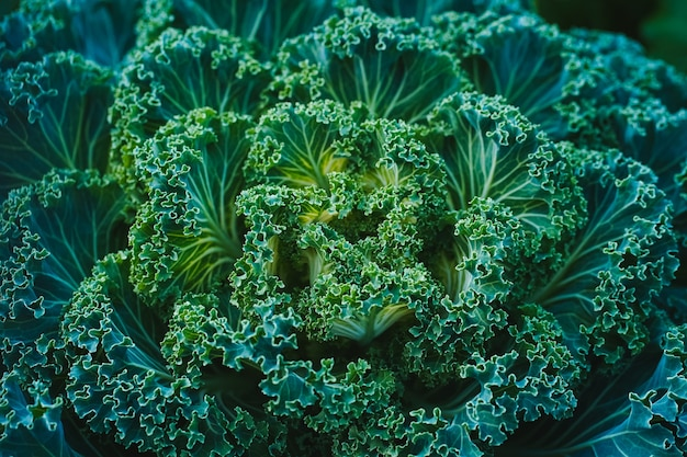 Widok z boku zielonej kapusty ozdobnej wyglądającej jak duży, nieziemski kwiat