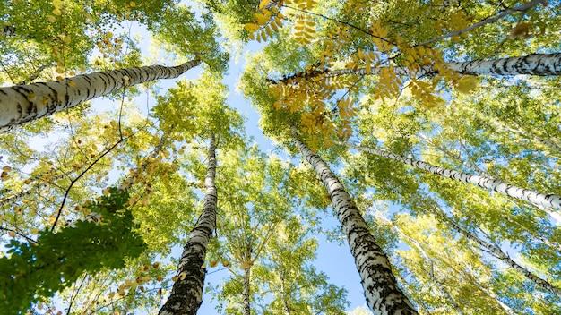 Widok z dołu brzozy w lesie jesienią, tomsk, syberia.