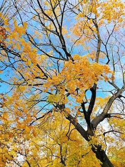 Widok z dołu drzewa pokrytego żółtymi i zielonymi liśćmi w stargardzie, polska.