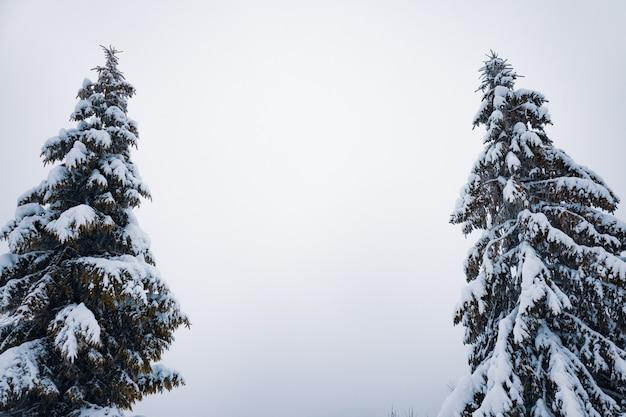 Widok z dołu masywne, eleganckie, ośnieżone jodły rosną pośrodku wzgórza ze śniegiem. koncepcja północnej przyrody. copyspace