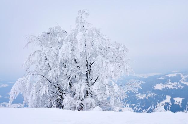 Widok z dołu masywne, eleganckie, śnieżne jodły rosną na środku wzgórza pokrytego śniegiem