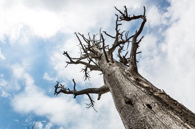 Widok z dołu na martwe drzewo na tle błękitnego nieba.