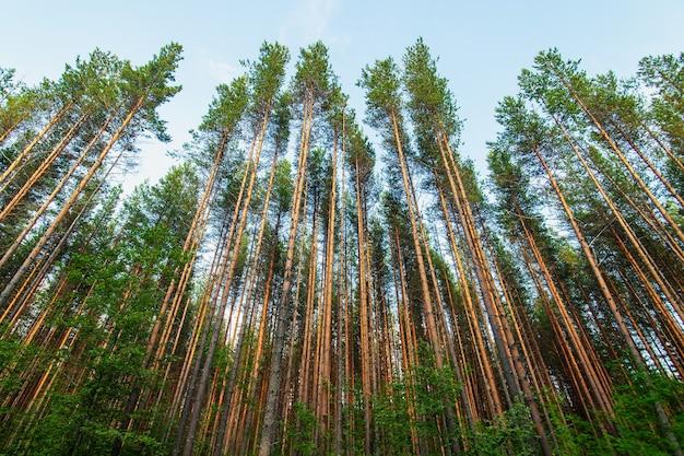 Widok z dołu na wysokie stare drzewa w wiecznie zielonym pierwotnym lesie latem, rząd wysokich sosen.