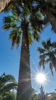 Widok z dołu palmy ze słońcem. soczi, rosja.