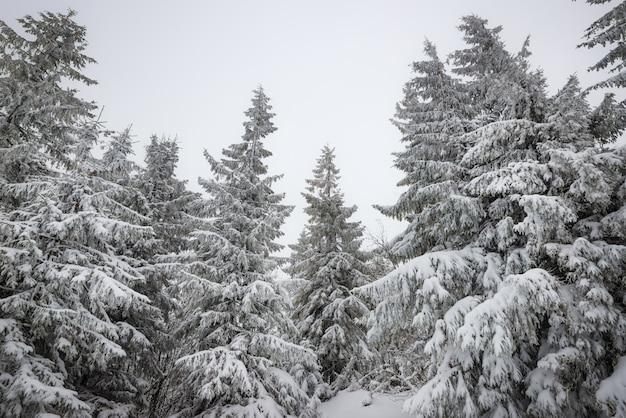 Widok z dołu piękne smukłe śnieżne jodły