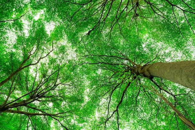 Widok z dołu pnia drzewa na zielone liście drzewa w lesie tropikalnym