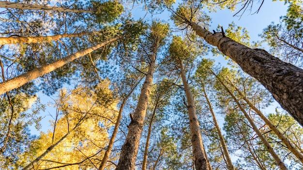 Widok z dołu sosny w lesie jesienią, tomsk, syberia.