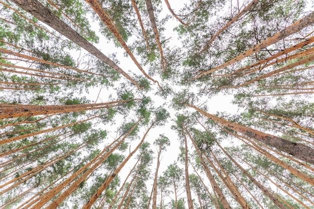 Widok z dołu starego wiecznie zielonego lasu sosnowego.
