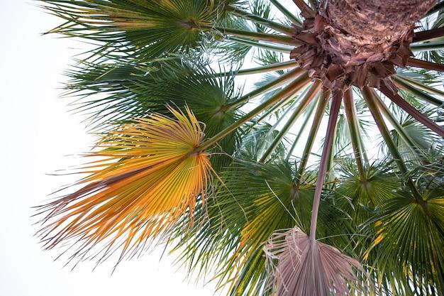 Widok z dołu teksturowanych gałęzi palmowych. egzotyczna roślinność egiptu.