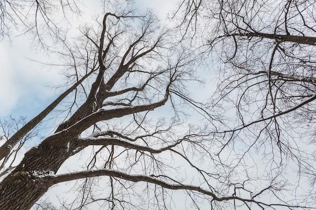 Widok z dołu z góry na drzewa pozbawione liści zimą.