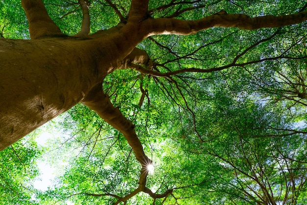 Widok z dołu z pnia drzewa na zielone liście wielkiego drzewa w tropikalnym lesie z promieniami słonecznymi.